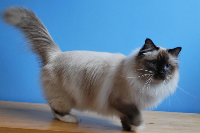 birman kitten pictures - photo #32